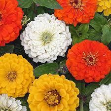 zinnias flowers zinnia seeds 120 zinnias selection of annual flower seeds