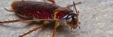 cafards cuisine traitement contre les cafards et blattes desinsectisation