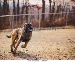 belgian malinois jet black guard and military dog stock photos u0026 guard and military dog stock