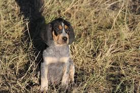 bluetick coonhound drool bluetick coonhound dogexpress