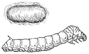 silk worm clip art sketch coloring page