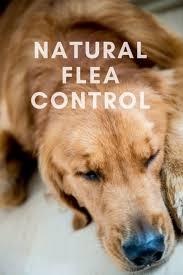 best 25 natural flea control ideas on pinterest dog flea