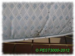 cimici da materasso cimici letto cimex lectularius cimice dei letti bed bugs
