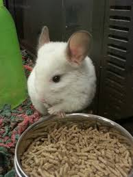 95 best chinchilla images on chinchillas