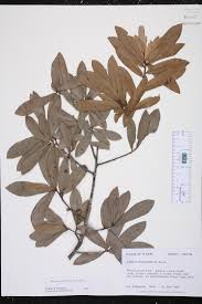 plants native to alabama quercus laurifolia species page isb atlas of florida plants