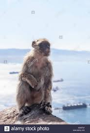 image of a barbary macaque of gibraltar siting on a rock fence