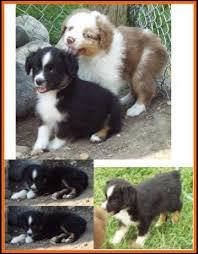 australian shepherd 6 weeks jessie u0027s litter 2 pup8 blue eyed bet black tri female toy