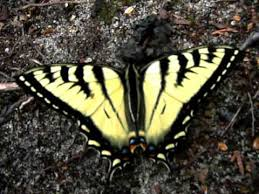 yellow and black butterfly canadian tiger swallowtail