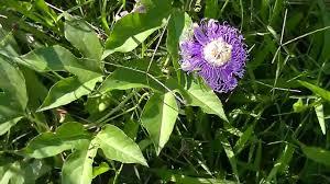 mystery wild vine flower w green balls youtube