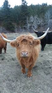 395 best hairy coos images on pinterest highland cattle