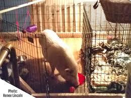 mini pig indoor spaces ideas u0026 inspiration mini pig info