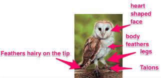 What Does A Barn Owl Look Like Barn Owl 5b Biology