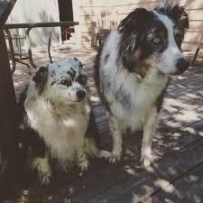 australian shepherd fur 513 best aussie l ve images on pinterest animals aussie