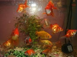 types of goldfish for your aquarium boldsky com