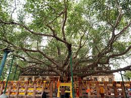 the bodhi tree a sacred destination of buddhist