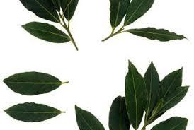 Laurel Topiary - varieties of laurel shrubs home guides sf gate