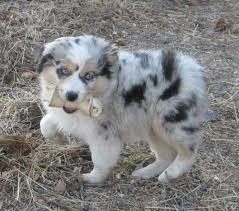 australian shepherd fur 190 best awesome aussies images on pinterest animals dog and