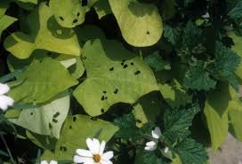 sweet potato holes in leaves walter reeves the gardener