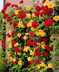 buy duo climbing rose u0027spanish flag u0027 bakker com