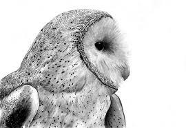 barn owls drawings