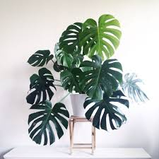 Indoor Tropical Plants For Sale - the 25 best large indoor plants ideas on pinterest big indoor