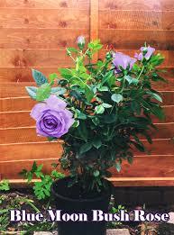 1 fragrant climbing bush rose bare rooted plant shrub red purple