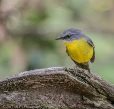 eastern yellow robin the gap year and beyond