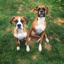 boxer dog female best shampoo for boxer dogs puppies and adults