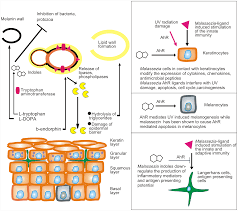 malassezia infections in humans and animals pathophysiology