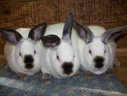 california rabbits everything you need to know about the breed