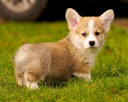 corgi puppy contemplating a christmas gift for one very loving