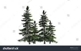alaska cedar tree cluster isolated on stock illustration 267238559