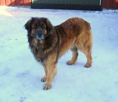 lion dogs leonberger