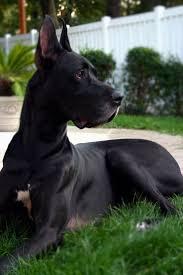 Great Dane Home Decor 25 Best Dane Dog Ideas On Pinterest Great Danes Great Dane