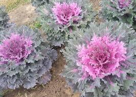 ornamental cabbage kale show winter color mississippi state