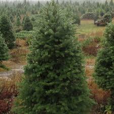 balsam christmas tree scotia balsam christmas tree evergreen delivery boston