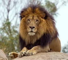 mane ly lions