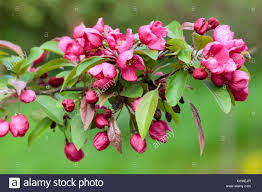 flowers of the ornamental crab apple malus indian