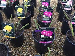 Fragrant Bedding Plants Roses Nareys