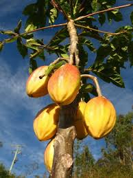 Tropical Fruit Tree Nursery - papayuela carica goudotiana frutti esotici pinterest