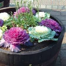 ornamental kale brightens your fall garden