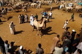 birqash camel market tours in cairo cairo camel market excursions