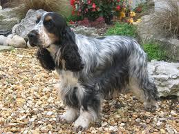 cocker spaniel breed profile australian dog lover