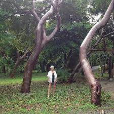 such interesting trees picture of club natale bay villas roatan