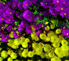 yellow daisy wallpapers purple and yellow flowers wallpaper high resolution flower art