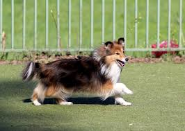 affenpinscher loyalty breed of the week the sheltie video simply for dogs