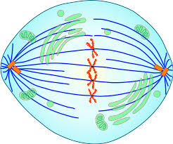 cell division diagram download wiring diagram