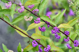 The Summer And Winter Garden - callicarpa dichotoma purple beautyberry shrub purple berries