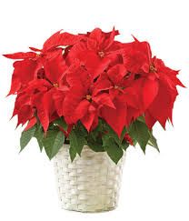 christmas plants poinsettia plant at from you flowers