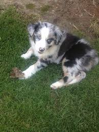 3 month australian shepherd the 49 best images about aussies on pinterest eyes mothers love